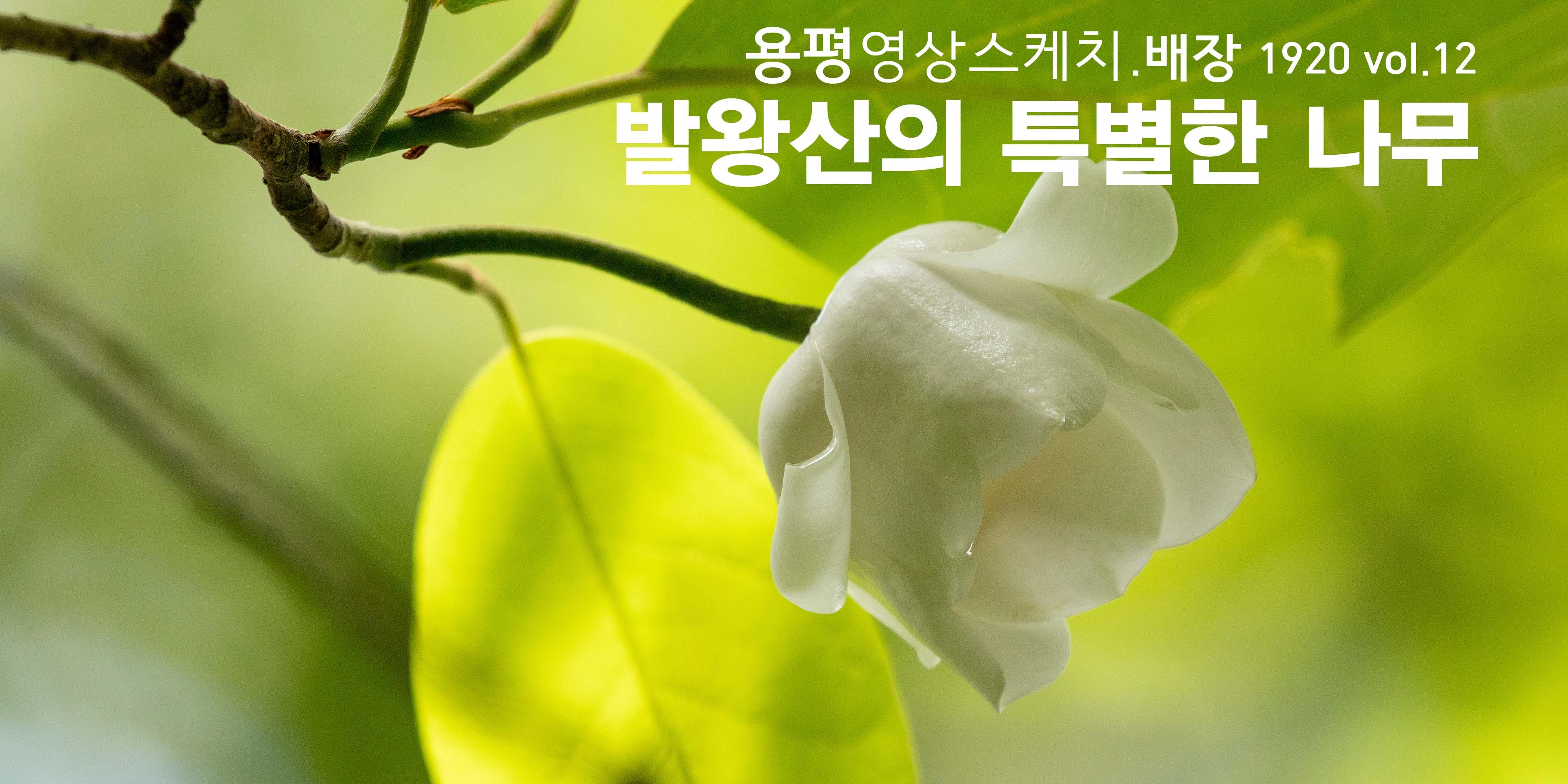 발왕산의 신비한 나무 _ 용평영상스케치.배장 1920 12편