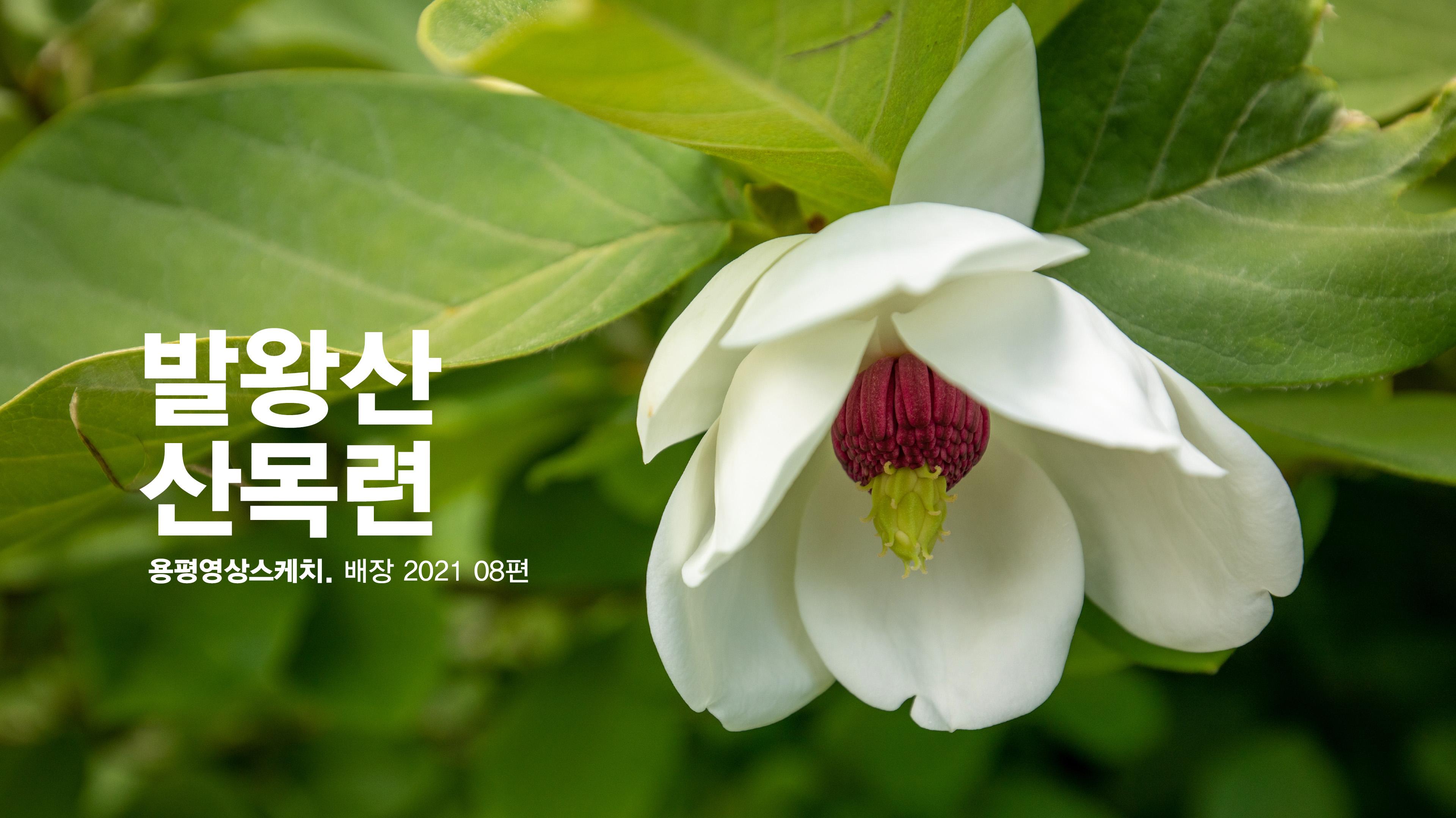 발왕산 산목련 _ 용평영상스케치. 배장 2021 08편