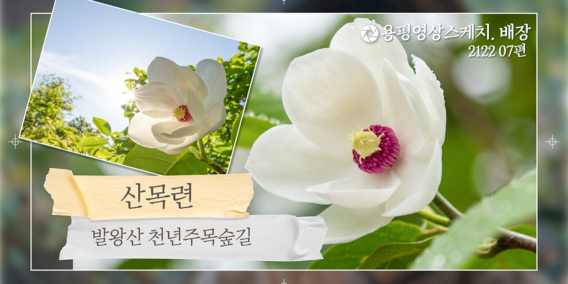 발왕산 산목련 _ 용평영상스케치. 배장 2122 07편