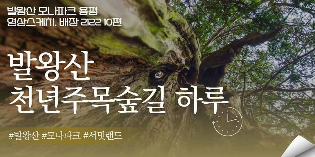 천년주목숲길의 하루 _ 발왕산 모나파크 용평 영상스케치. 배장 2122 10편